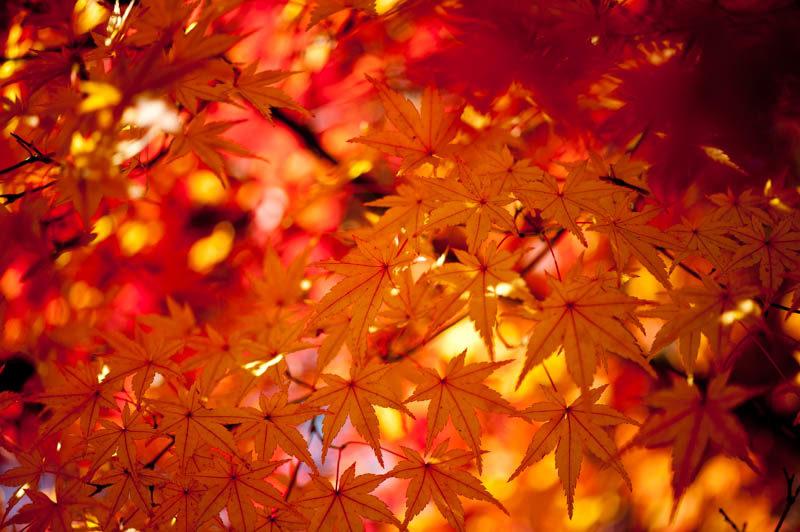 紅葉のマクロ撮影