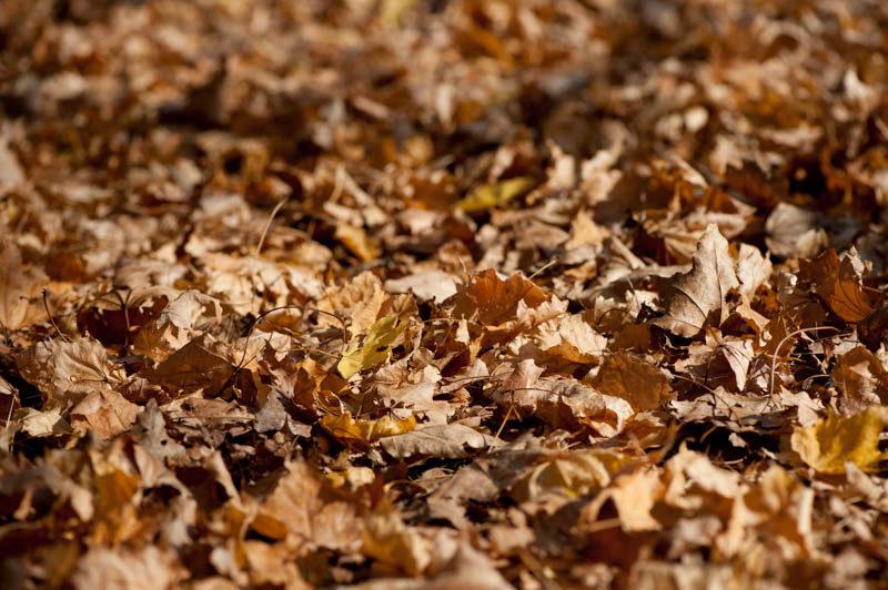 枯れ葉はマクロレンズの被写体