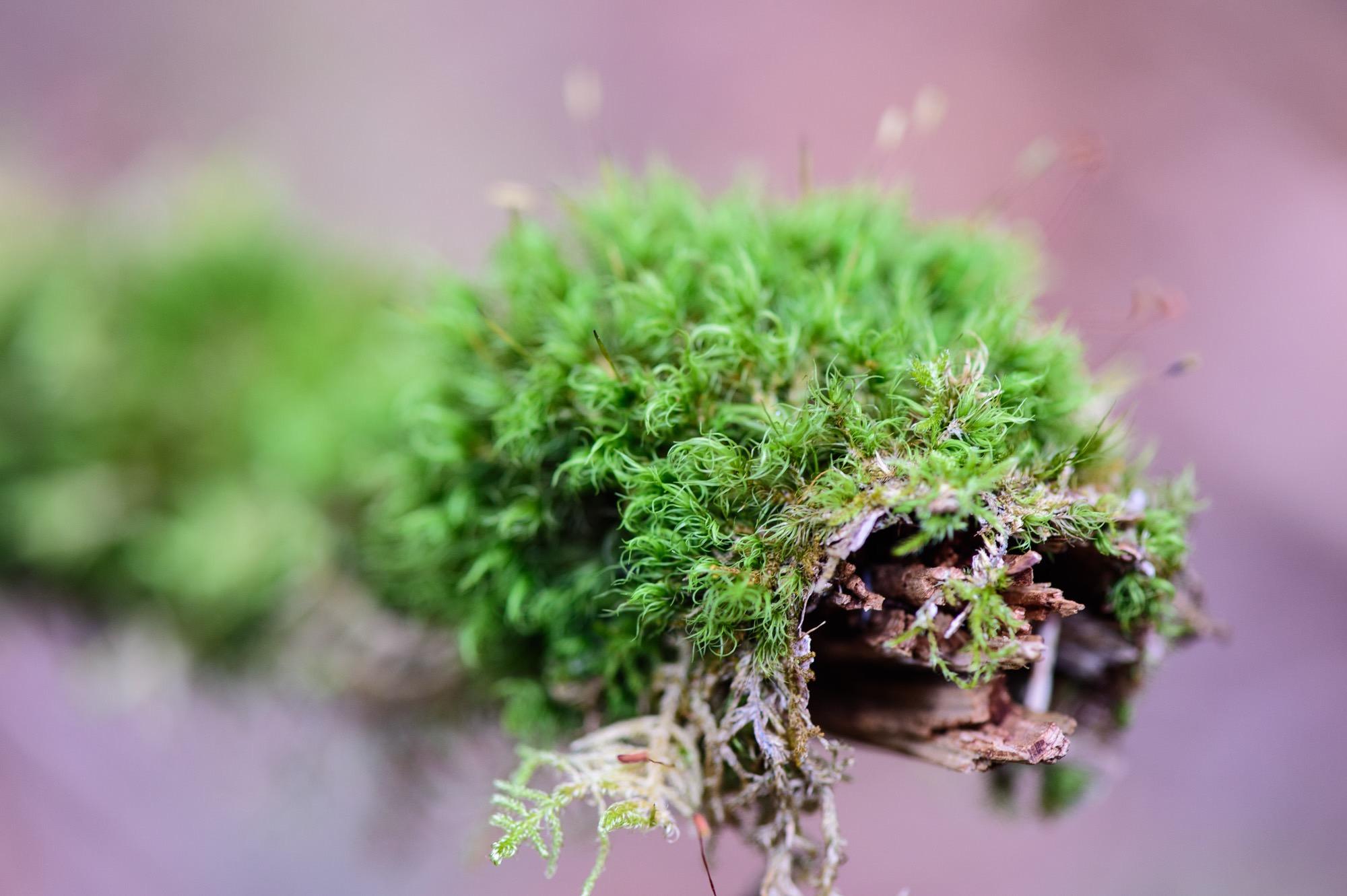 木の枝の群生する苔